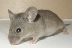 Contrer l'infestation du domicile par les souris