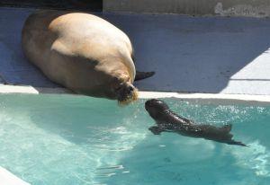 Autre bébé morse attendu à l'Aquarium