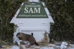 Wiarton Willie prédit un printemps hâtif; Shubenacadie Sam en désaccord