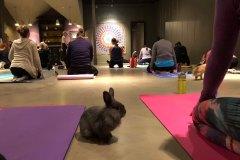 Du yoga au milieu de lapins pour Pâques