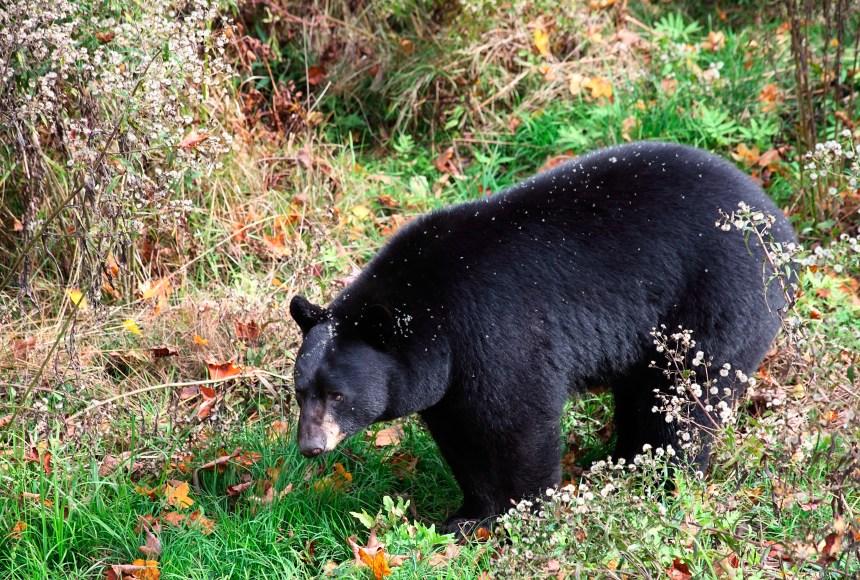Un ours abattu dans le nord de Charlesbourg