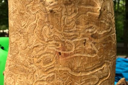 Agrile du frêne: nouvelle méthode pour endiguer la progression