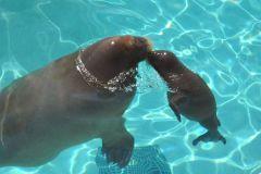 Ours blancs et jeunes morses bientôt de retour à l'Aquarium du Québec