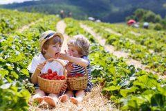 Départ de la saison d'autocueillette de fraises