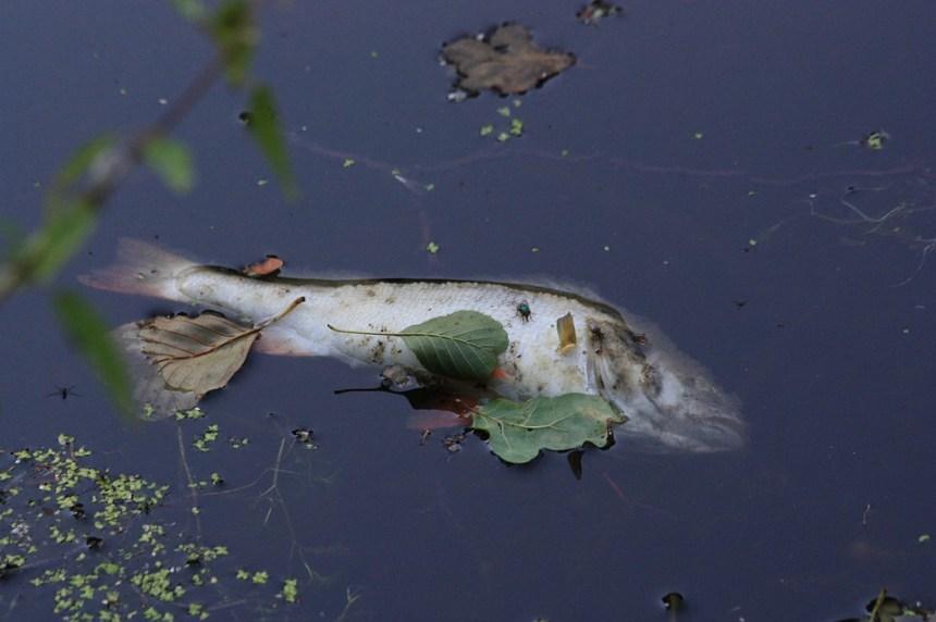 Facture partagée pour les poissons morts au lac Saint-Augustin