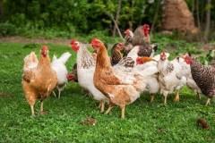 Un engouement grandissant pour l'élevage de poules en milieu urbain