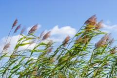 Pulvérisation d'herbicide contre le roseau commun