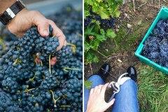 Vivez gratuitement l'expérience des vendanges dans un vignoble de Saint-Eustache
