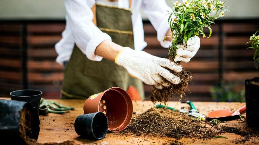 Trois techniques pour hiverner ses géraniums jusqu'à l'été