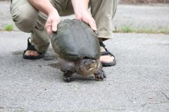 Automobilistes appelés à aider les tortues à traverser la rue