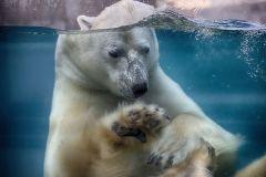 L'Aquarium attristé par le décès de l'ours blanc Eddy
