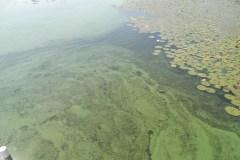 Deux épisodes d'algues sur lac Saint-Augustin cet été