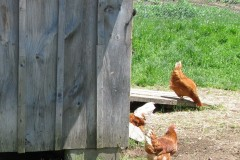 Oui aux poules, non aux potagers en façade