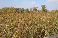 Pulvérisation d'herbicide contre le roseau commun à Sainte-Catherine
